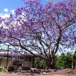 Jacaranda1