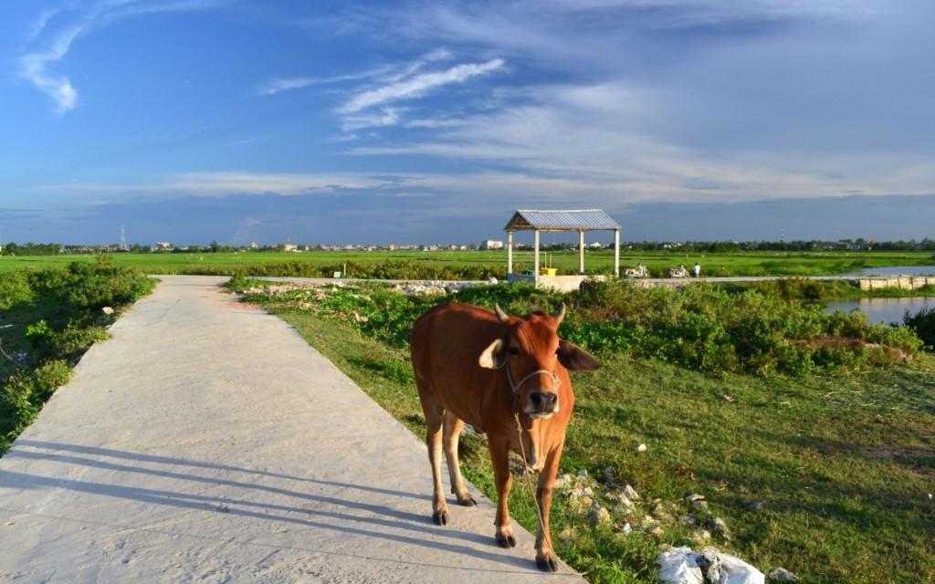 Tra Que Cow